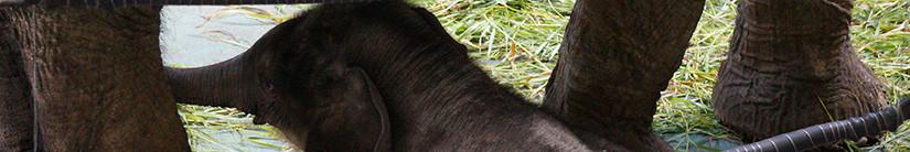 В Московском зоопарке родился слоненок.